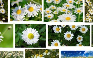 лайка билки против страхова невроза